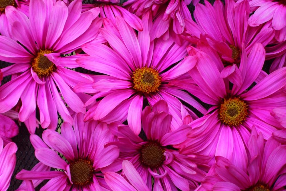 blooming pink gerbera daisy flowers
