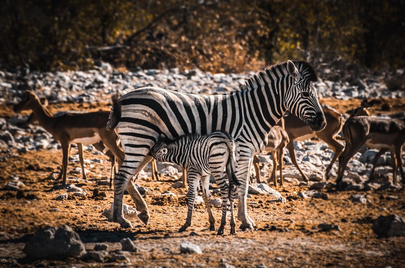 namibia-etosha-zebra