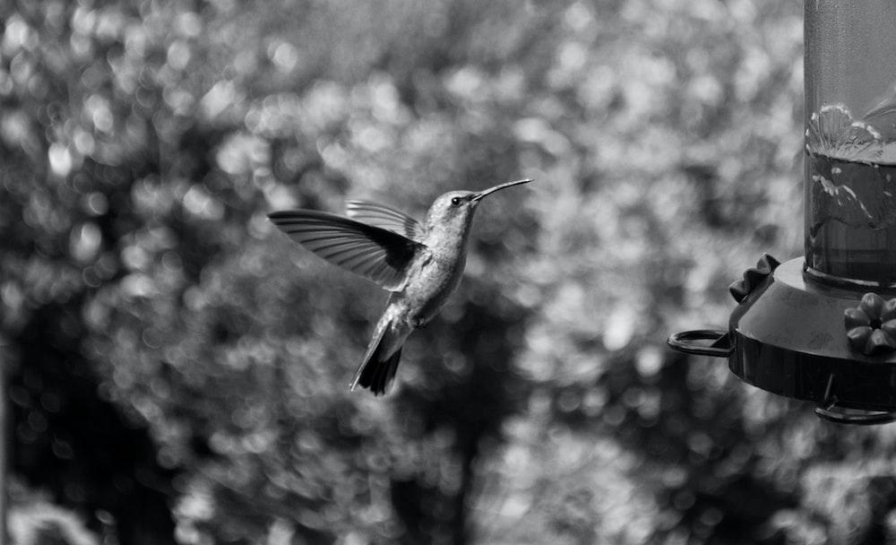 grayscale photography of hummingbird flying
