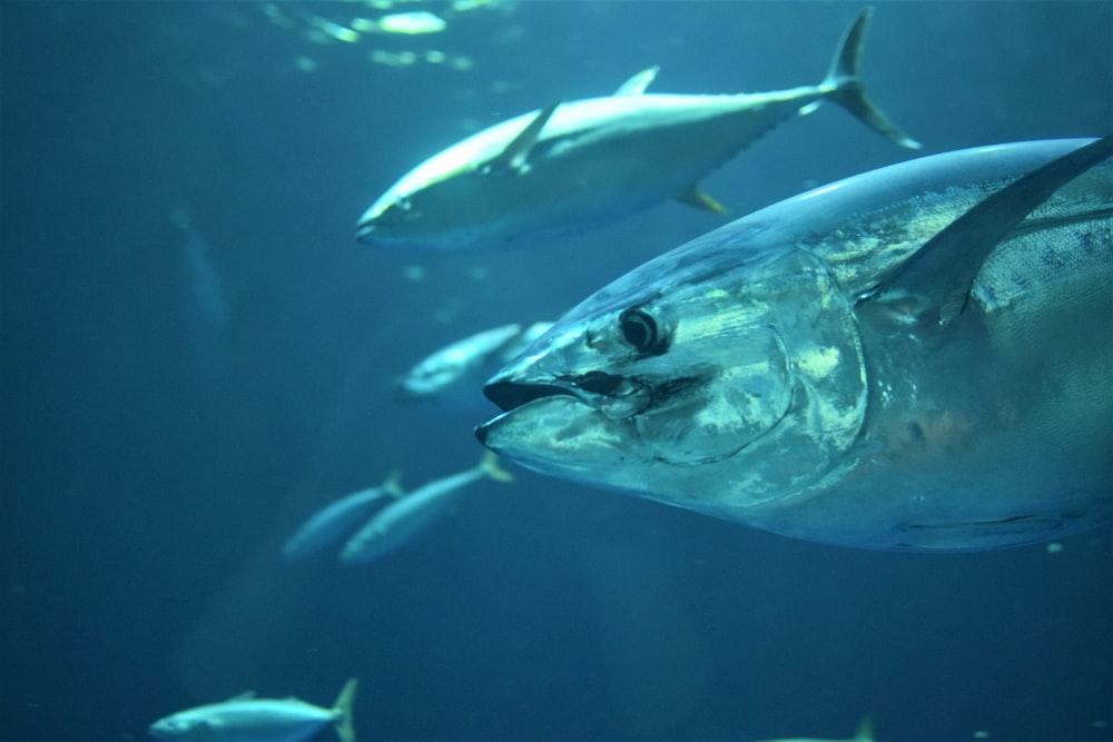 gray tuna fish