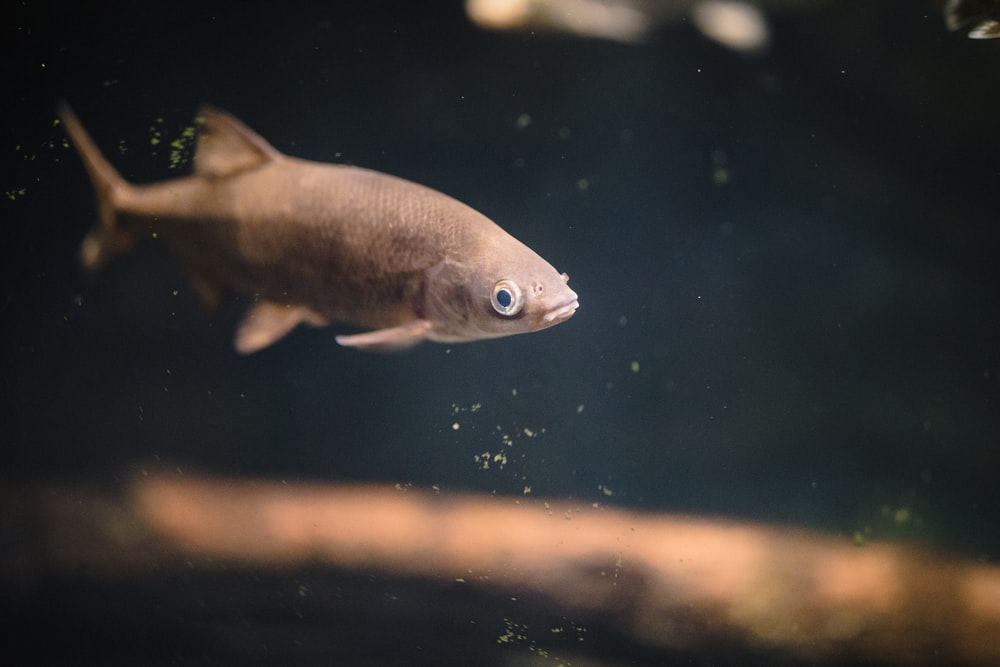 gray fish in water