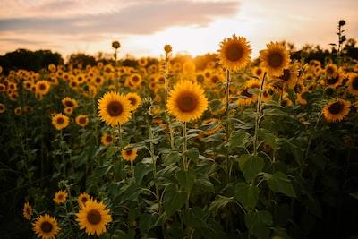 Sunflower field under white sky