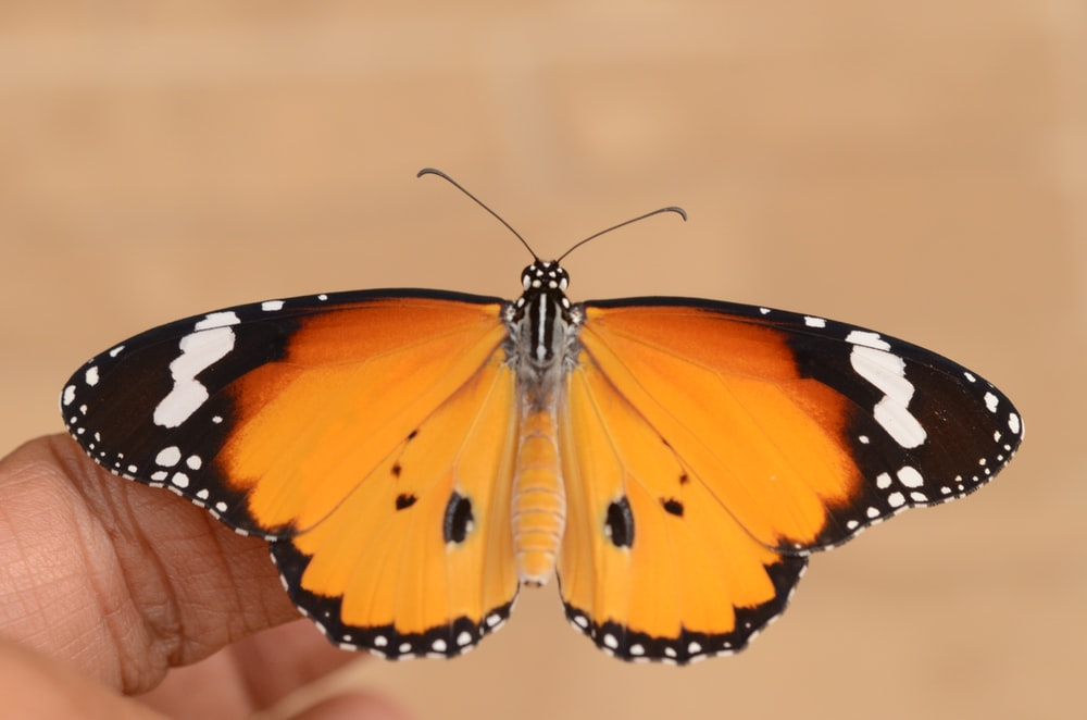 brown, black, and white moth butterfly