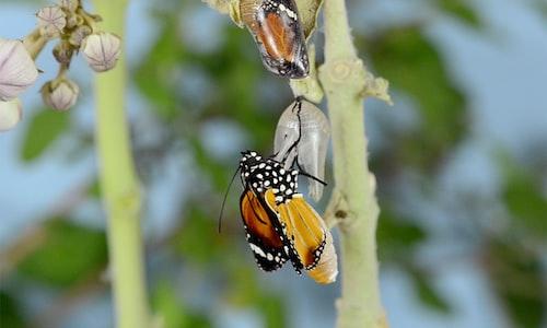 monarchs facts