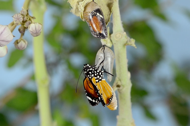 A photo of a monarch butterfly emerging from a chrysalis, with another enclosed chrysalis next to it.