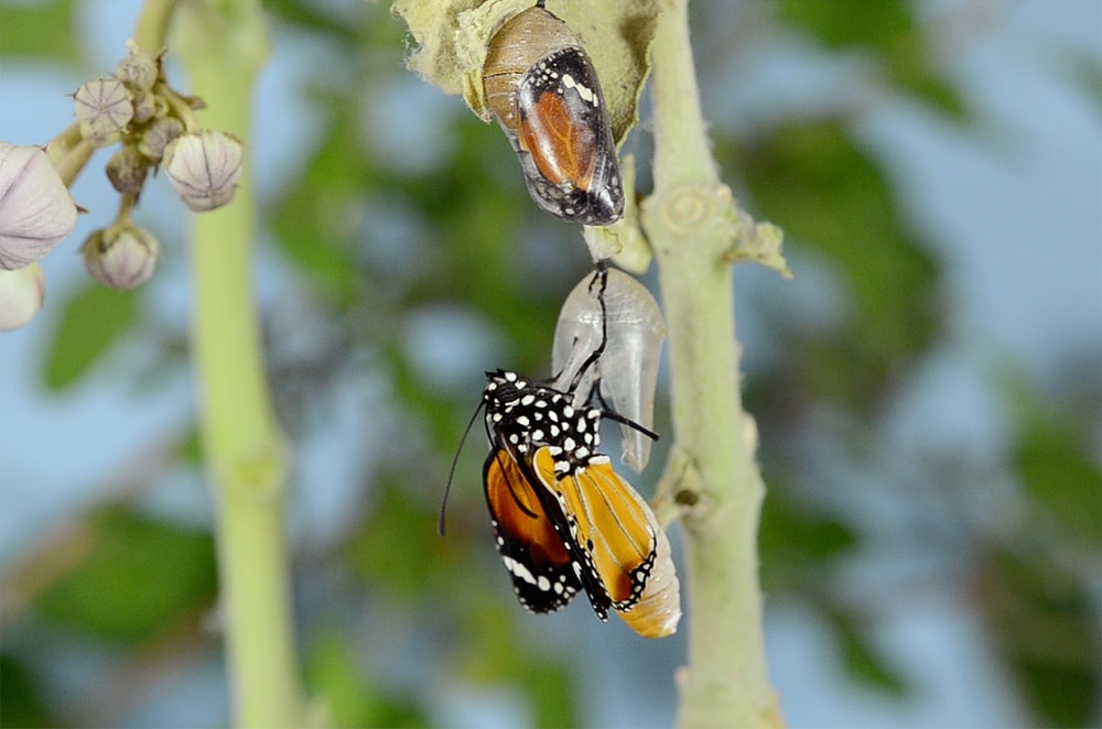 queen butterfly on leaf