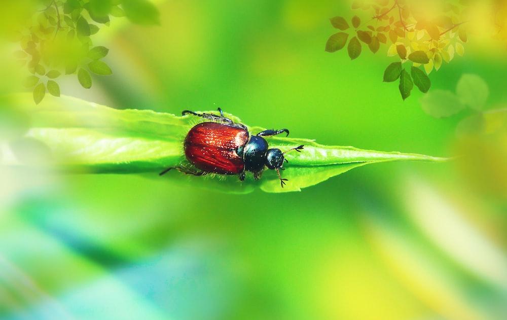 red and black beetle on leaf