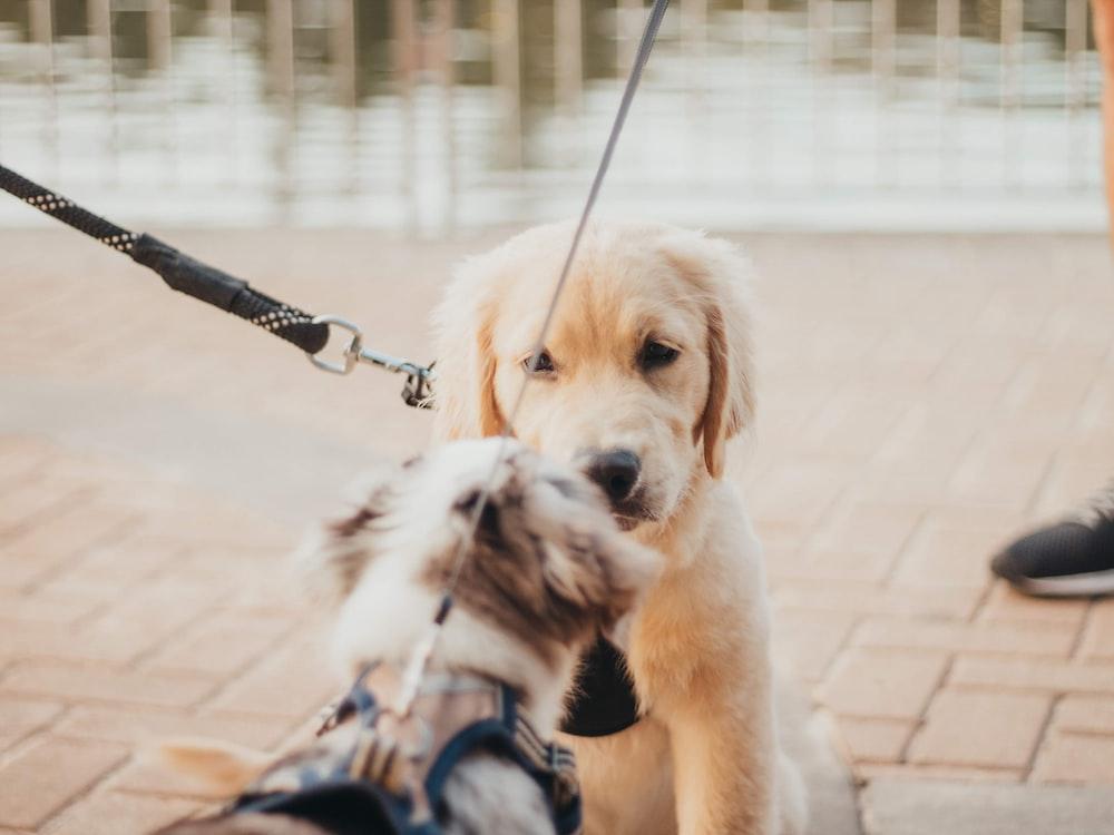 yellow Labrador puppy near brown dog