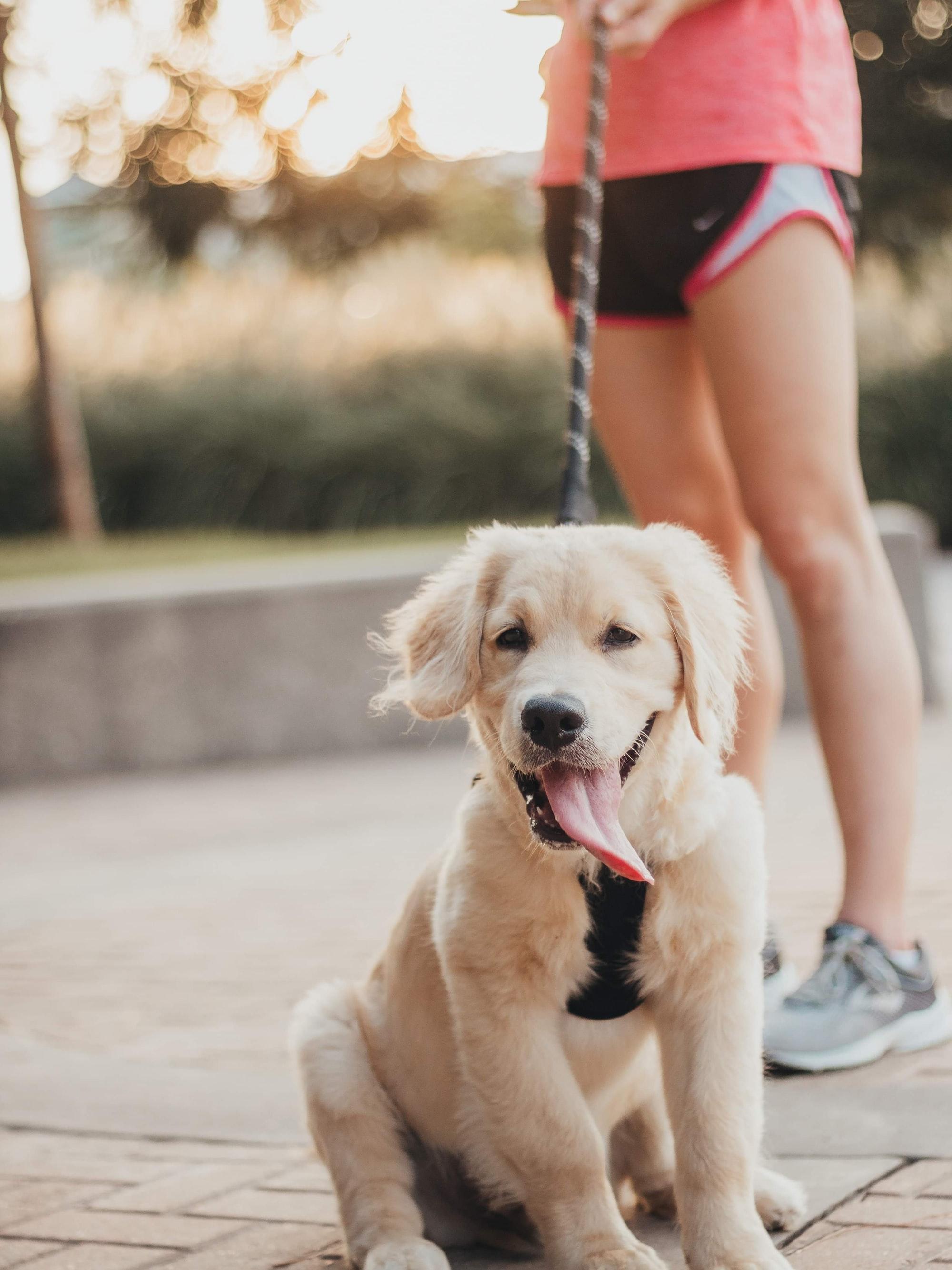 running with dog, running with puppy, golden puppy