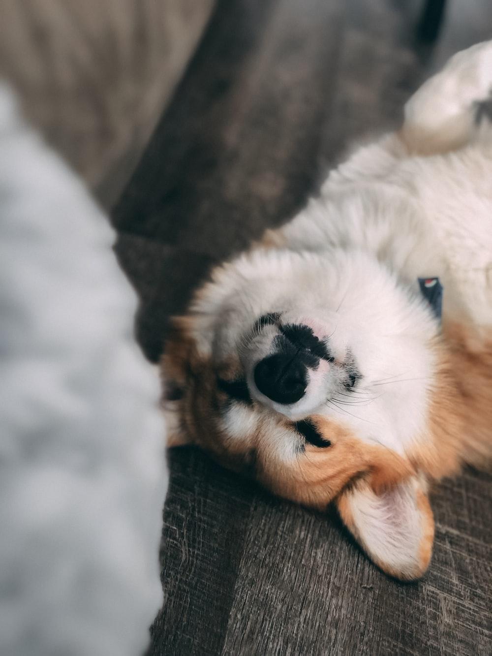 white corgi dog
