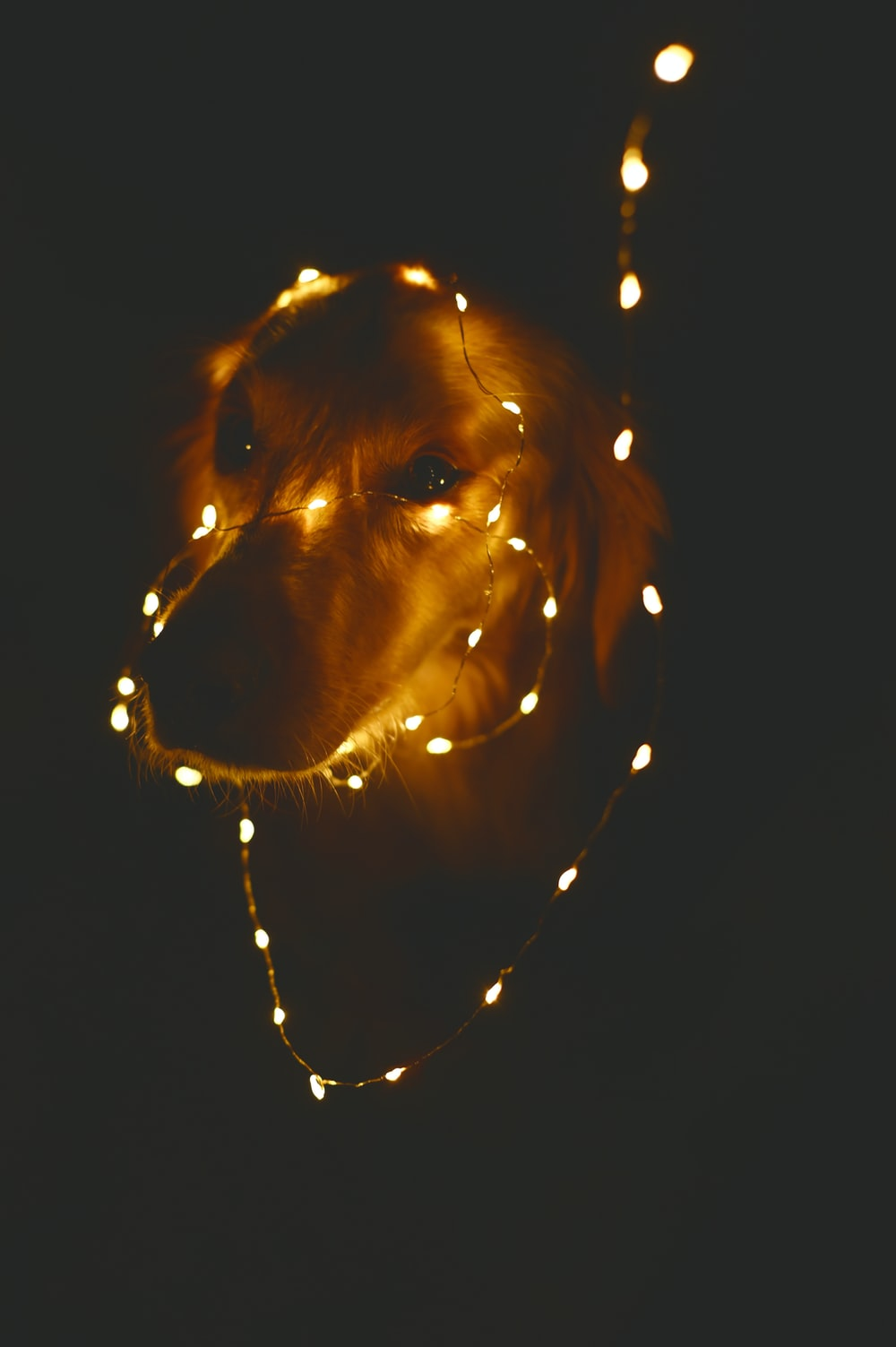 dog wrapped with string light