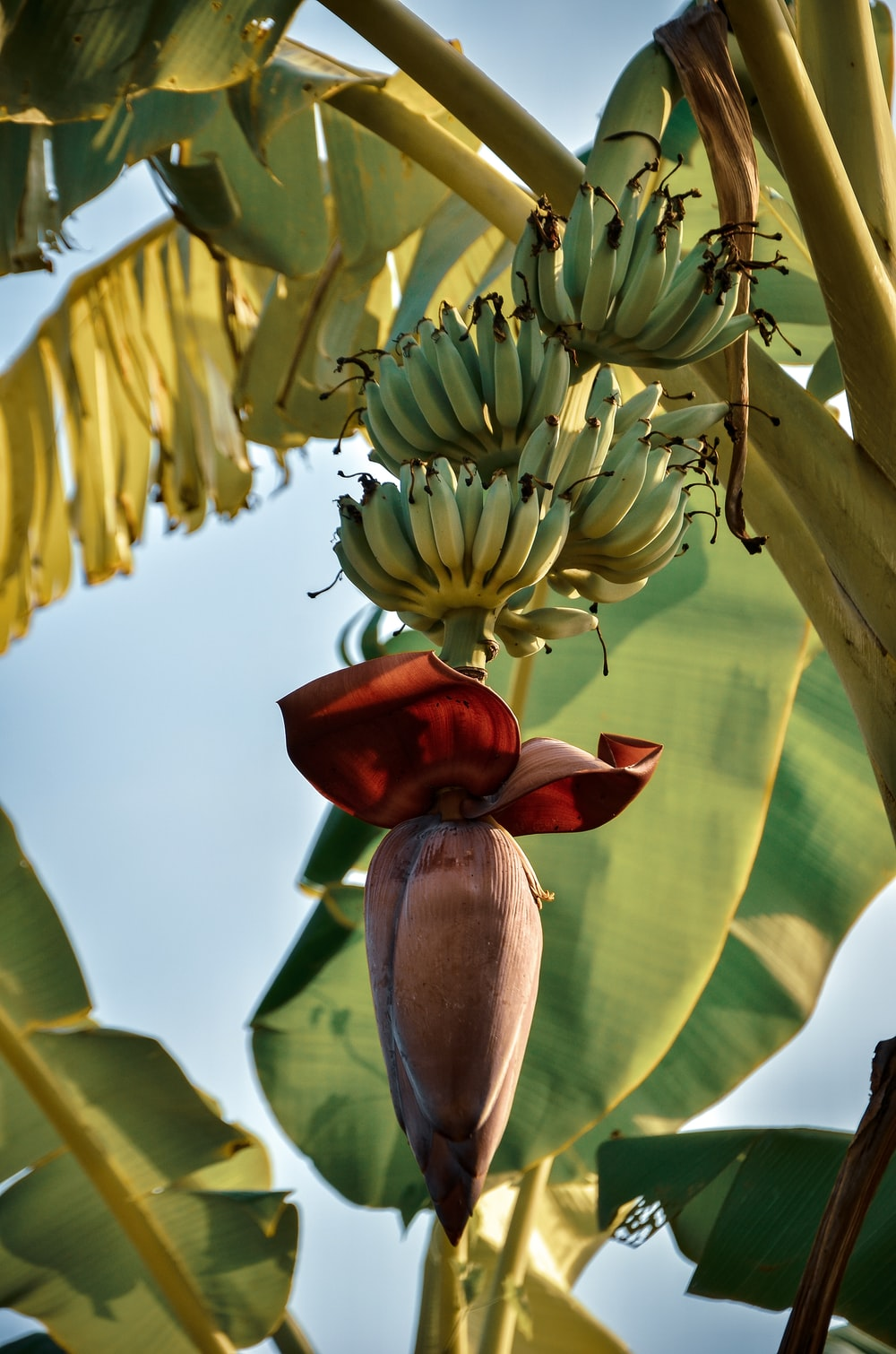 low angle photo of banana tree during daytime