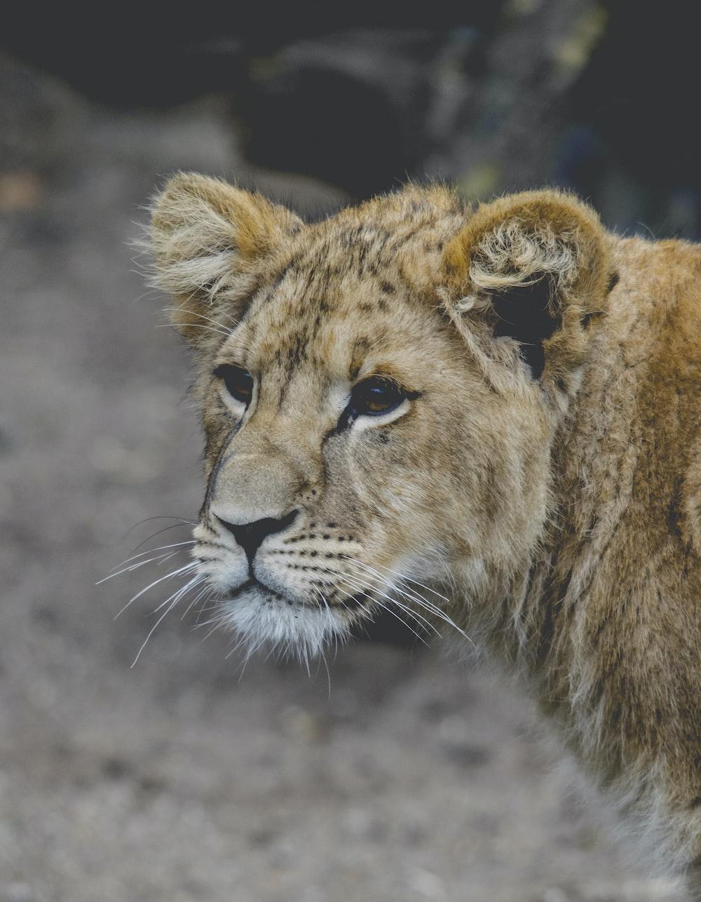beige lioness