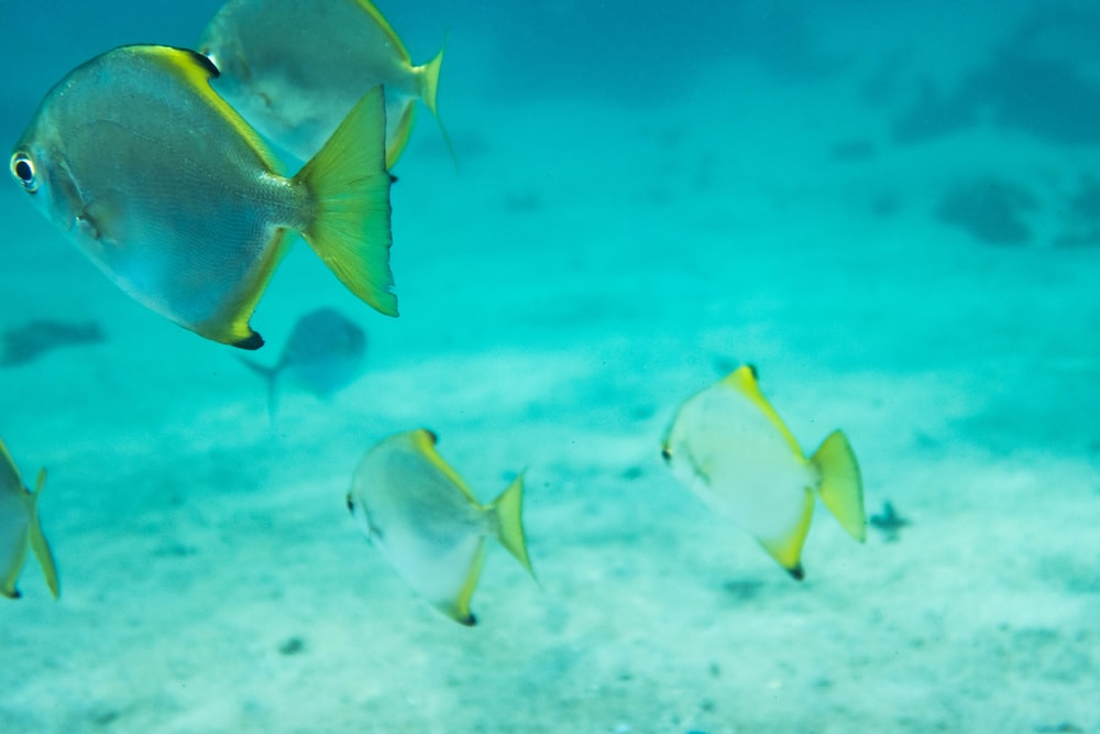 underwater photography of gray-and-yellow fish
