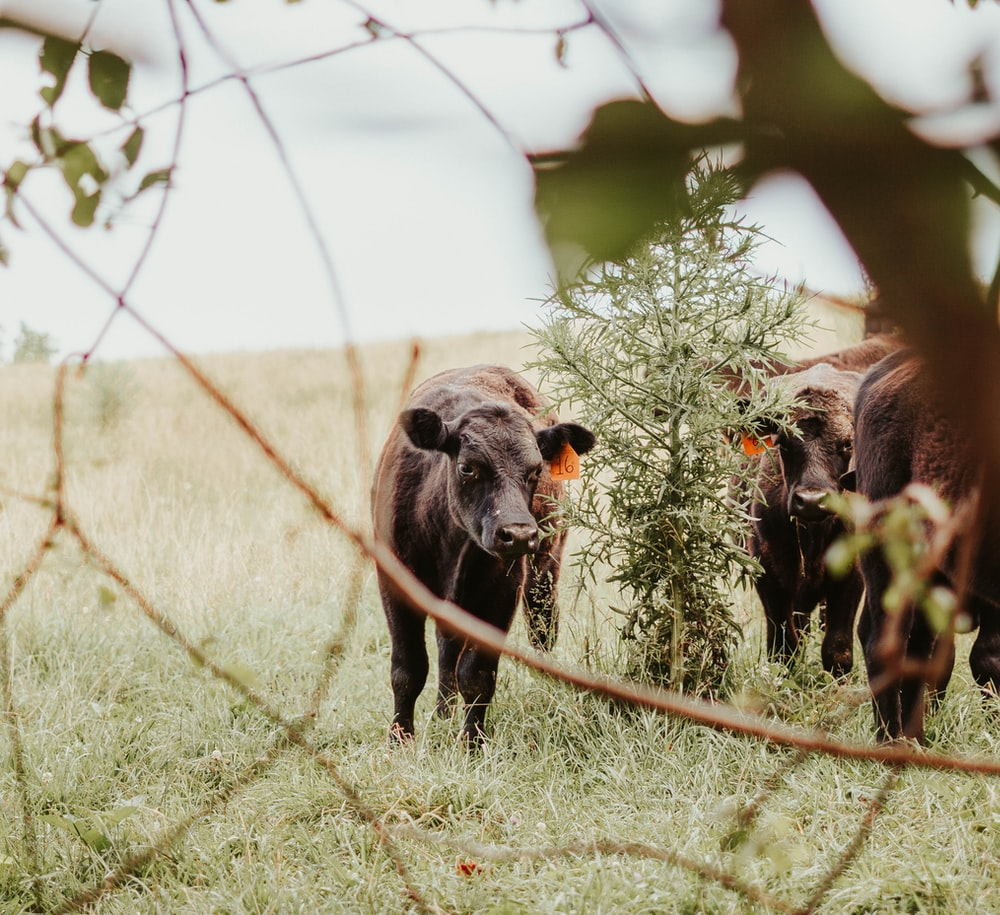 black cattle on green grass during daytime