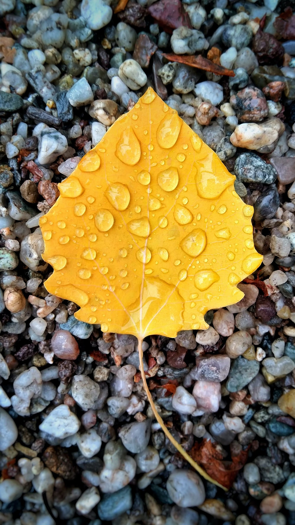 yellow leaf on gravel with dew