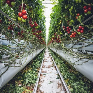 Vertical gardening in a mega glasshouse for fast growing tomatoes and sweet pepper.