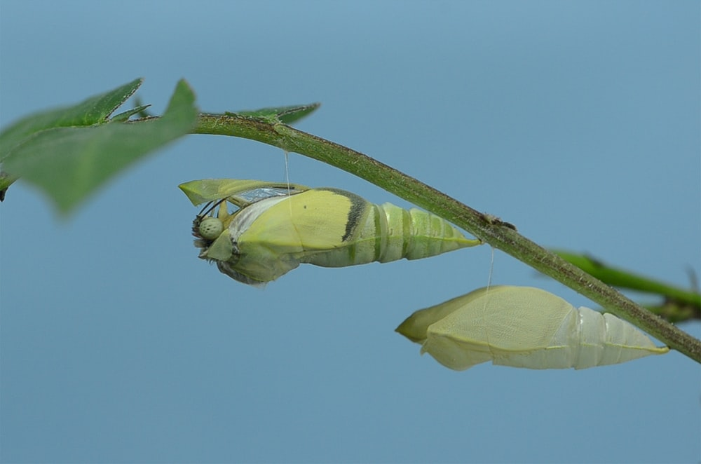 green butterfly cocoons macro photography