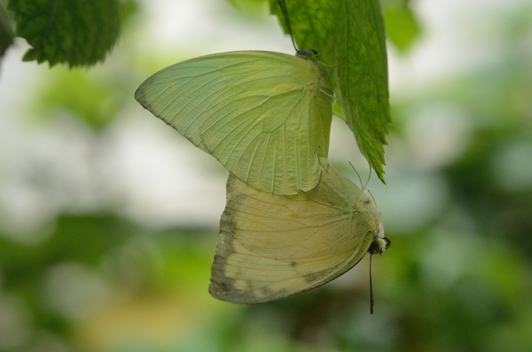 Cloudless Sulphur Butterfly I'll Watch Nature by My Camera's Eye Location : Ahmedabad, Gujarat, INDIA Model : NIKON D7000