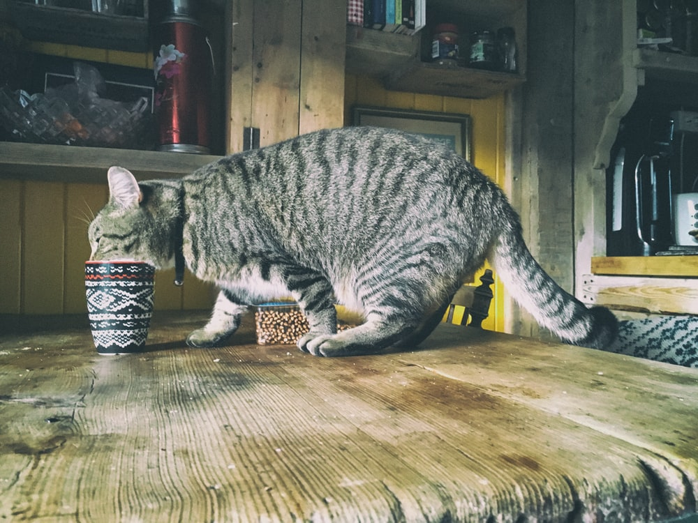 brown tabby cat sipping from cup