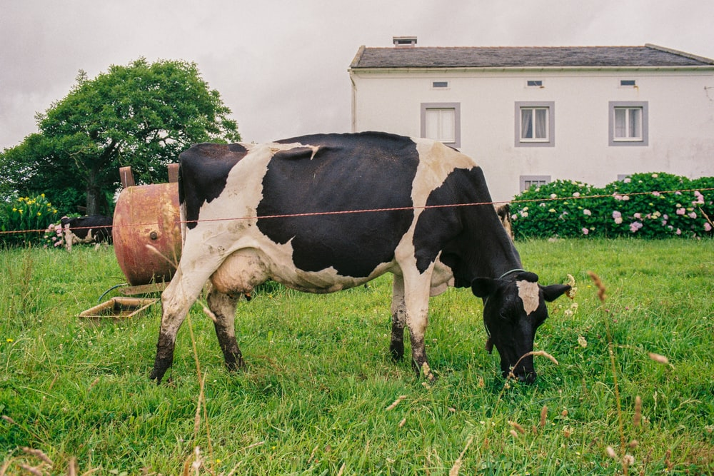 cattle eating grass in front of house
