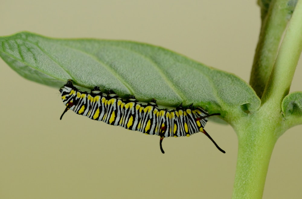 green and black striped caterpillar on leaf