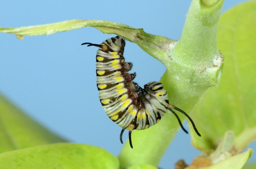 yellow, brown, and gray caterpillar on green plant stem