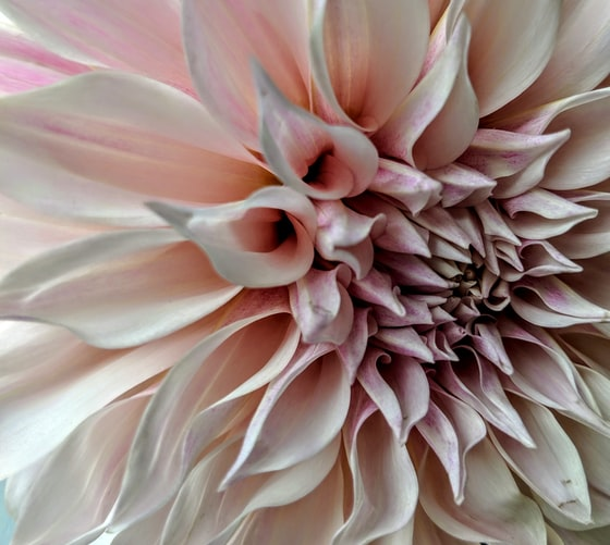 Close up of a pinkish-white flower with a lot of petals. Photo by Sabine Ojeil on Unsplash