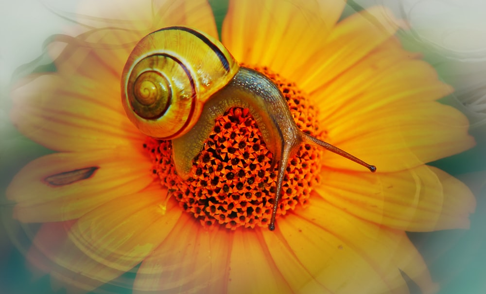 brown snail on yellow flower