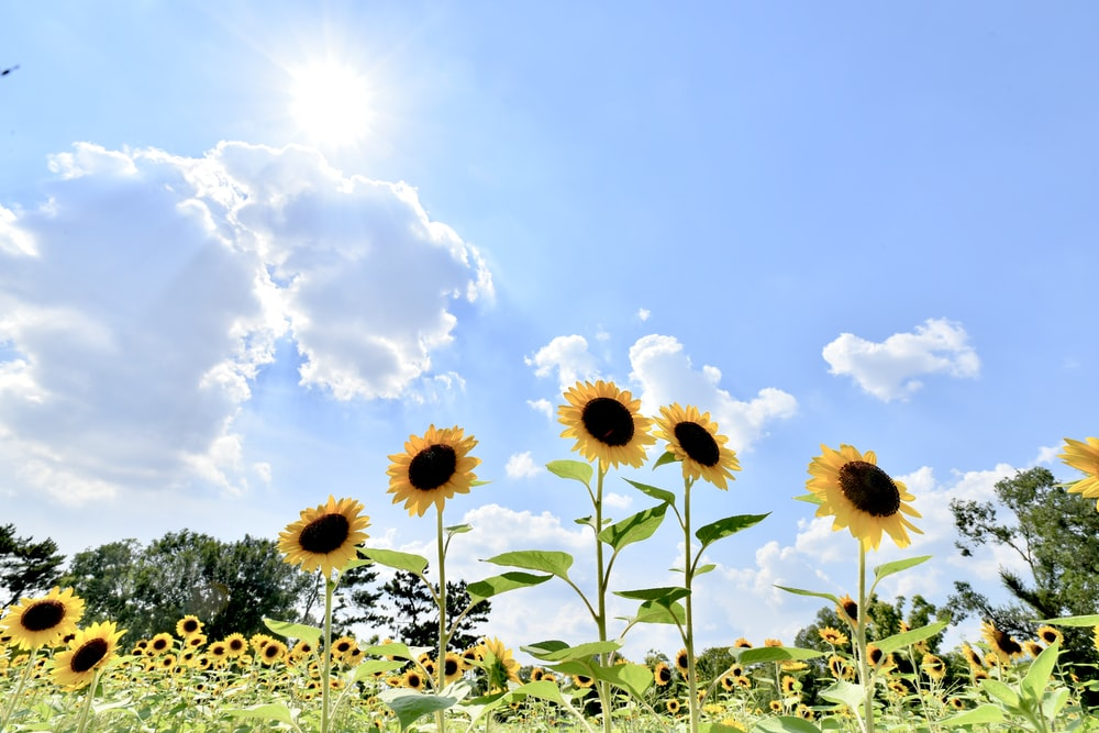 yellow sunflowers under white clouds and blue sky