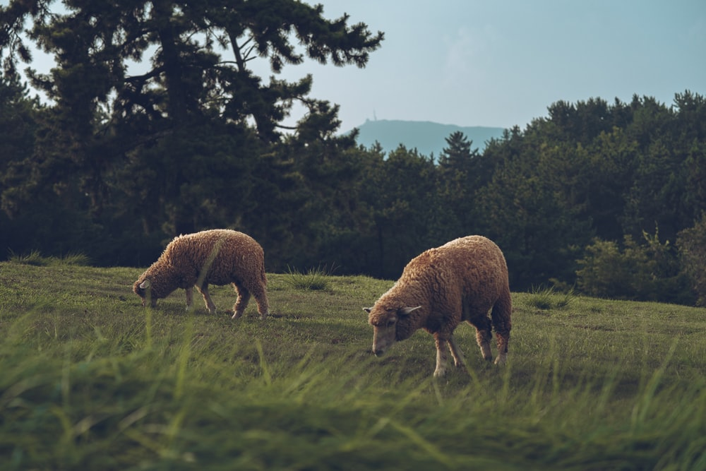 two brown sheep eating grass