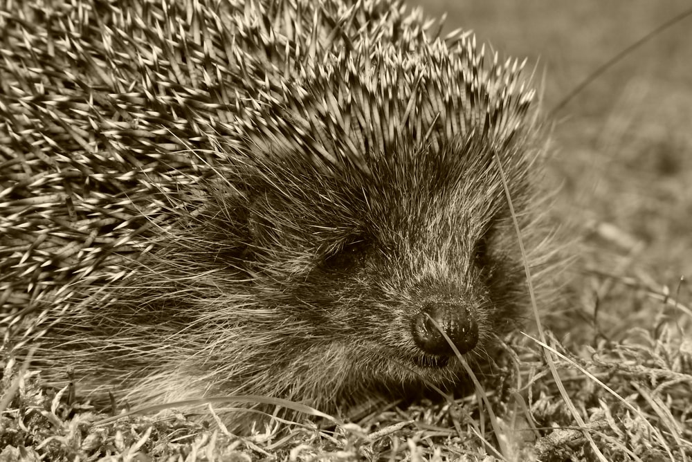 grayscale photography of hedgehog