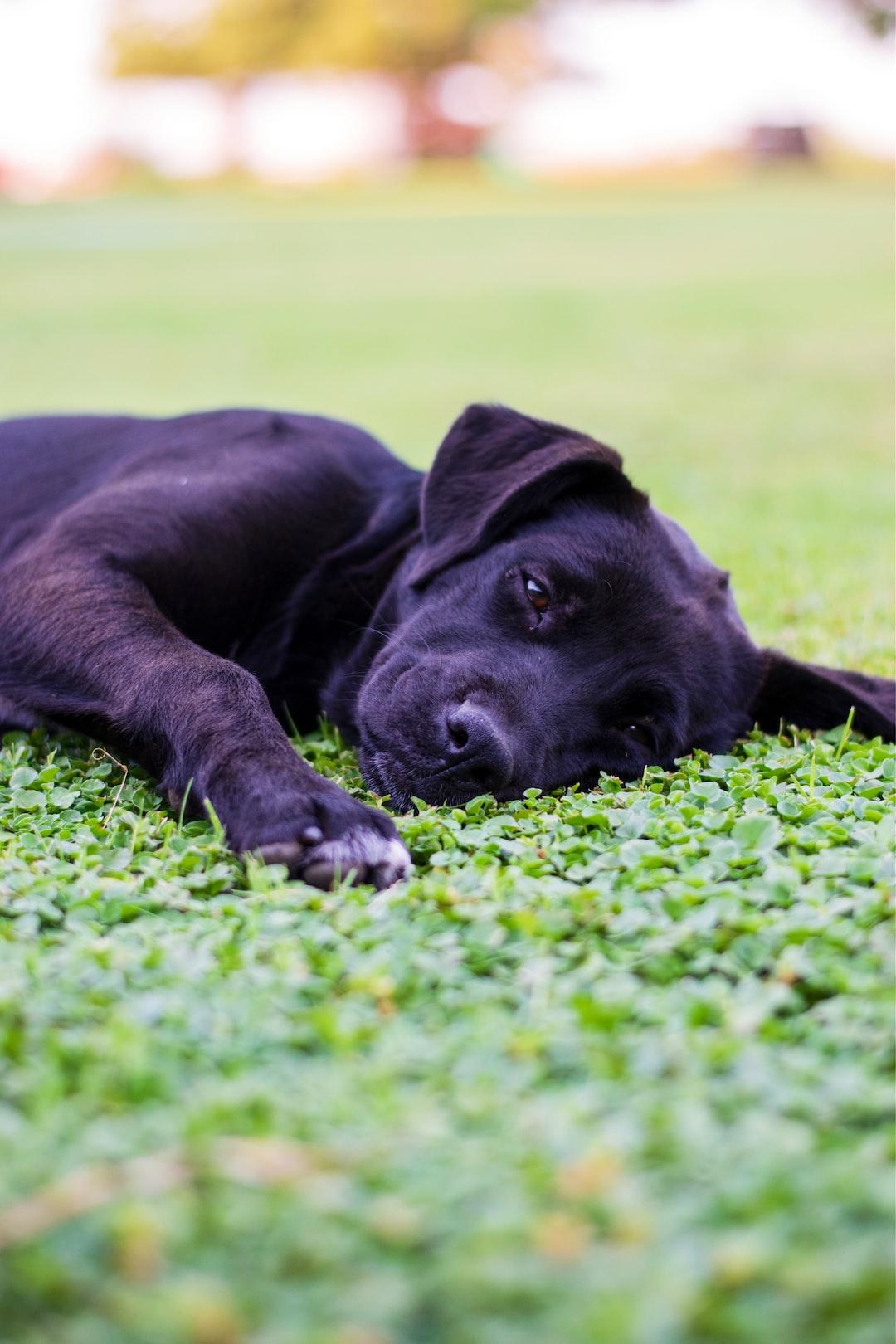 Breeder Comparison – British Labrador Retriever/American