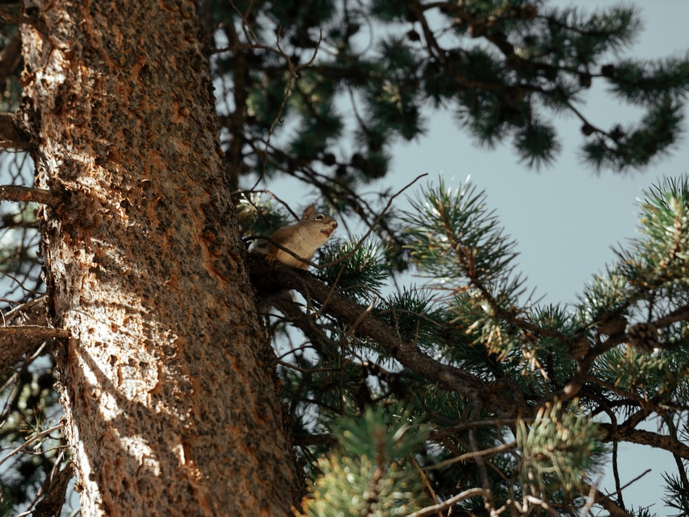 squirrel on pine tree branch