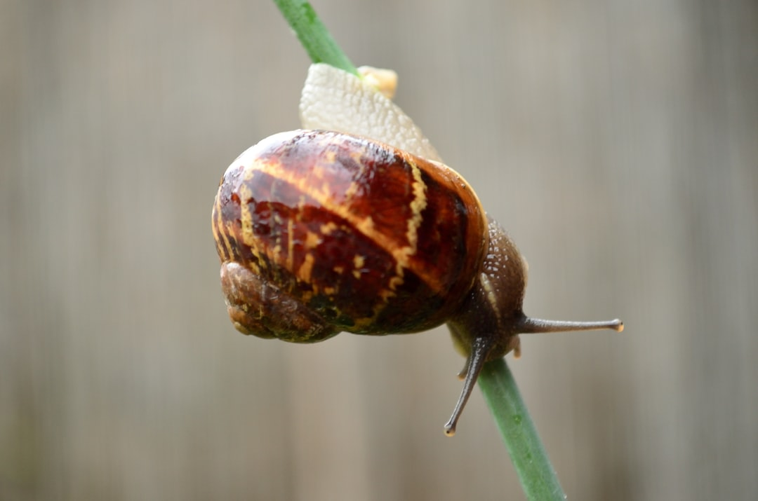 European Garden Snail caught raiding our plants!