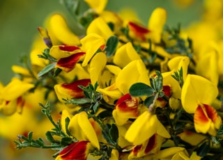 red-and-yellow flowers