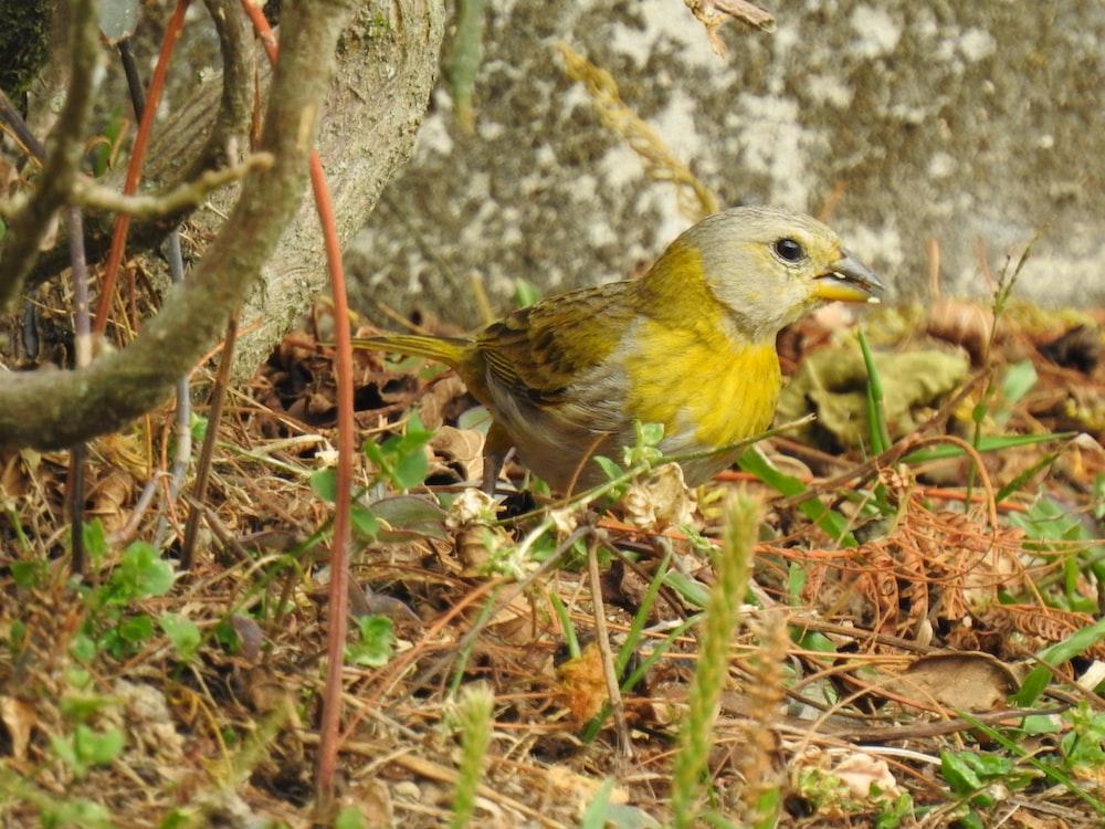 gray and yellow bird on grass