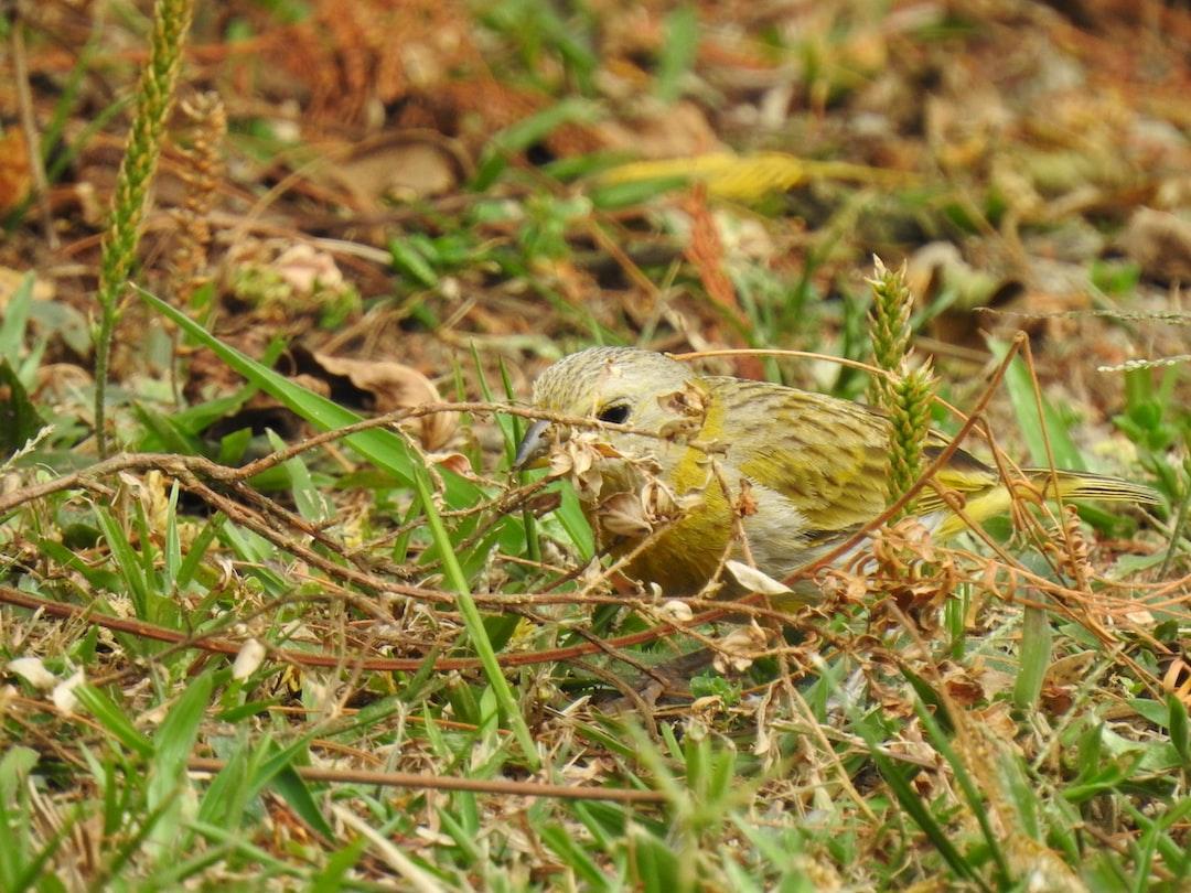 Hidden canary / Canario escondido
