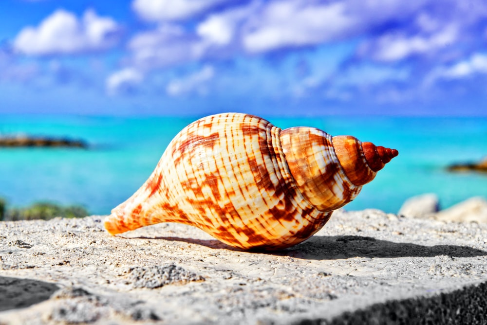 brown conch shell