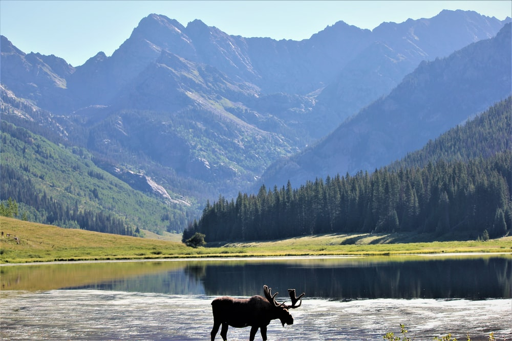 moose beside body of water