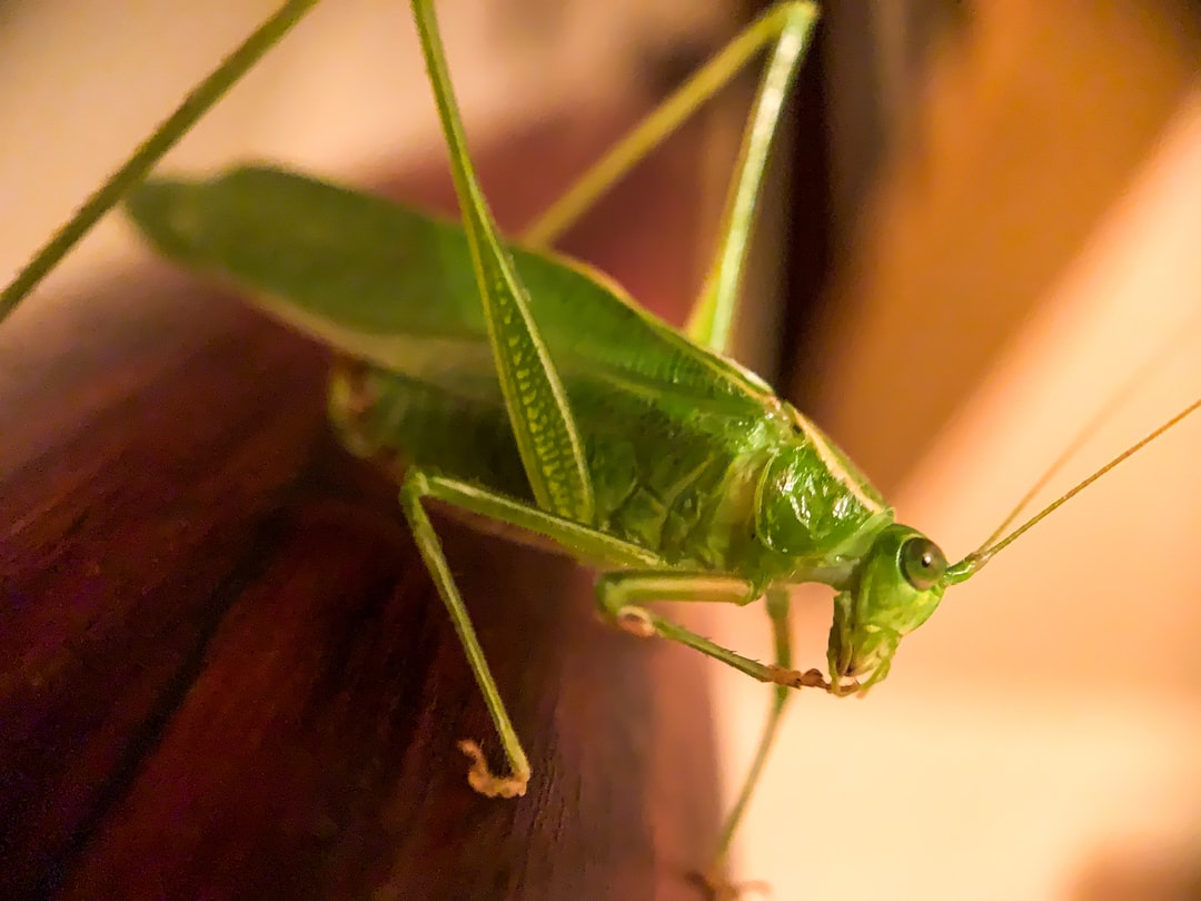 Grasshopper Manicure. A Northern Bush Katydid found his way into our home via a garden harvest.