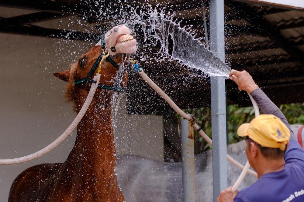 man gives horse bath using garden hose