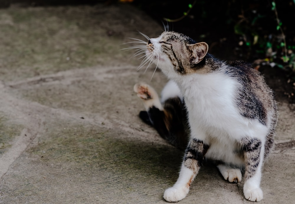 short-fur white and gray tabby cat