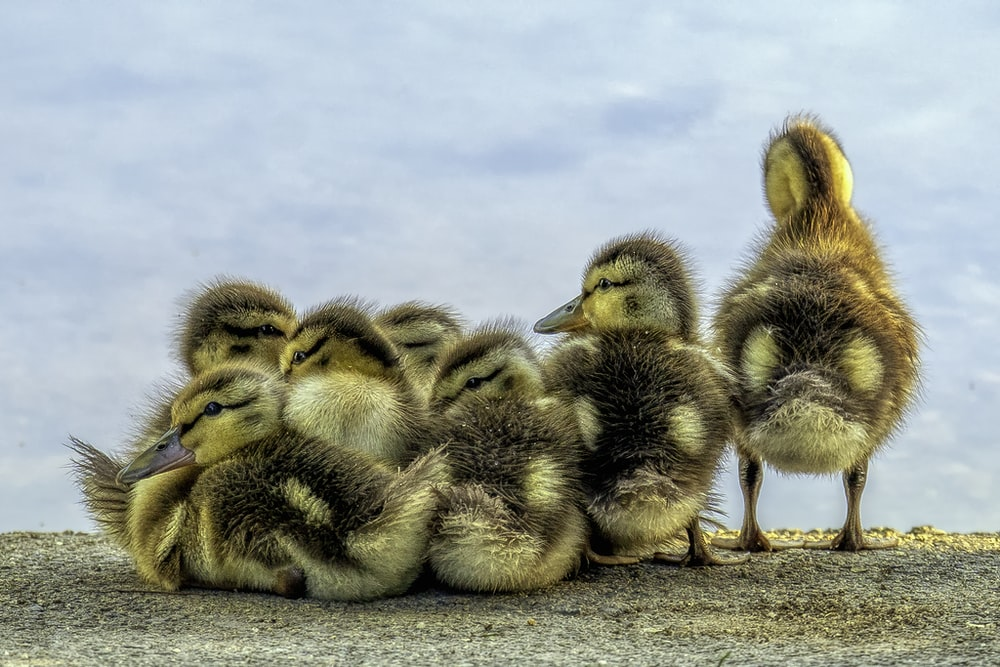 black and yellow ducklings