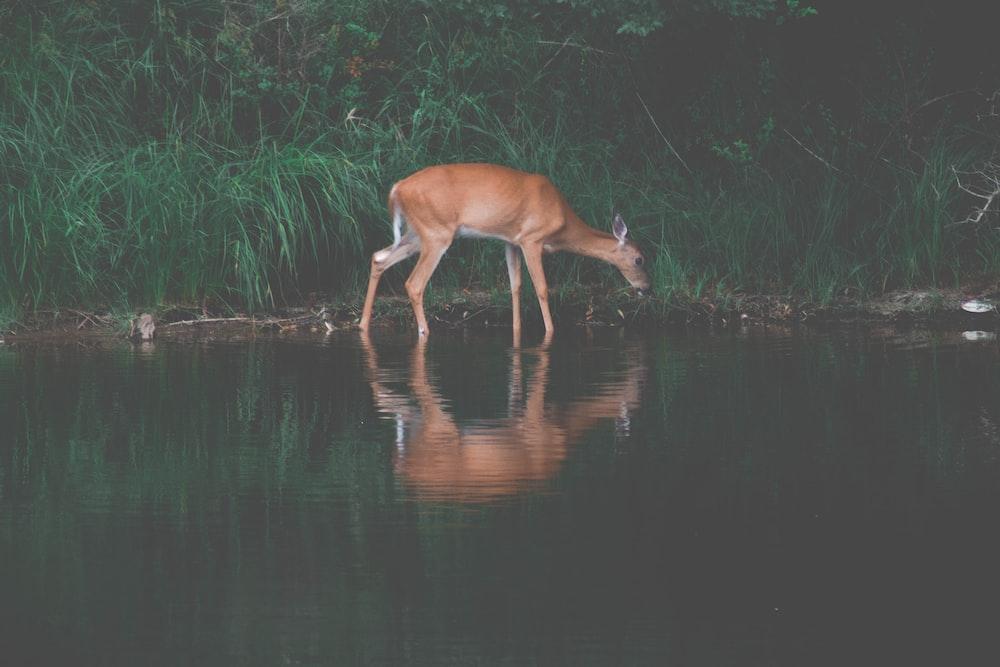 brown deer drinking water on river