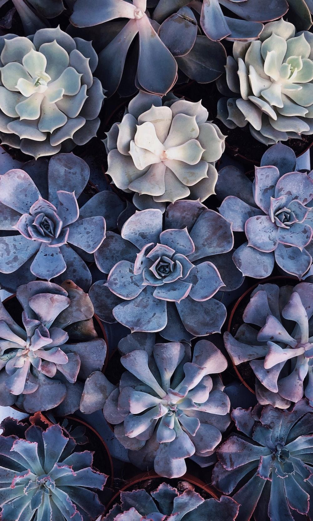 gray succulents