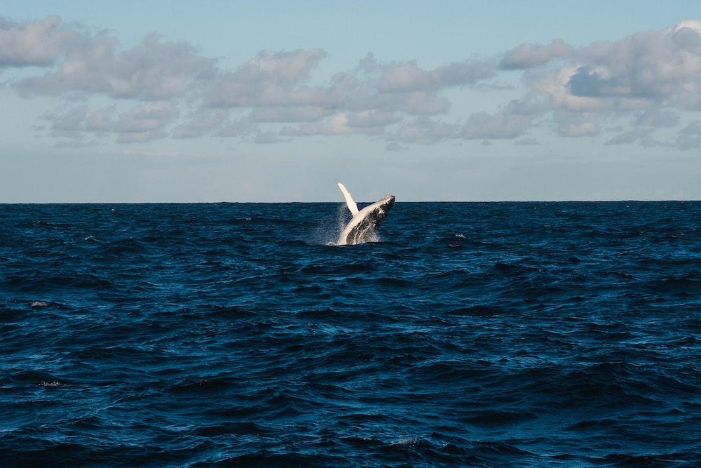 whale in blue ocean water