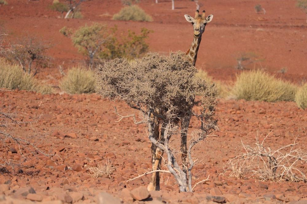 giraffe calf behind shrub at the field during day
