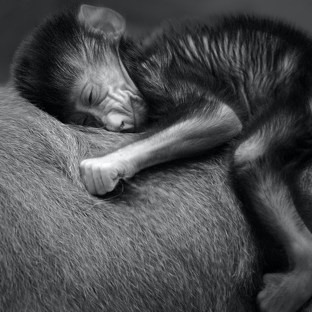 grayscale photo of monkey sleeping