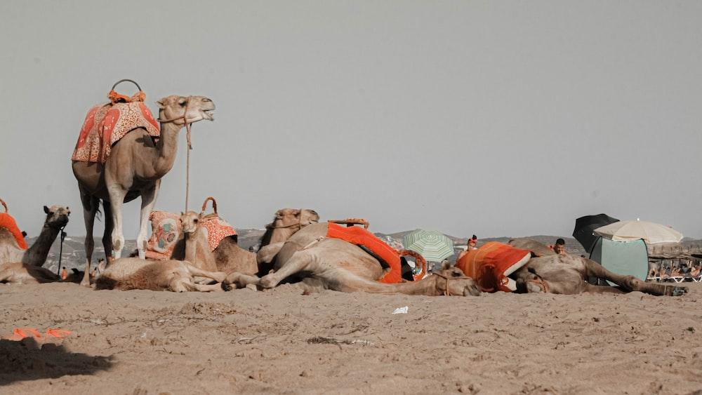 Brown Camels On Desert During Daytime